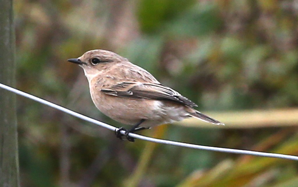 Siberian Stonechat Titchfield Haven 20.10.14 Gordon Small